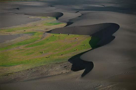 Коровы на пастбище между дюнами. Чили